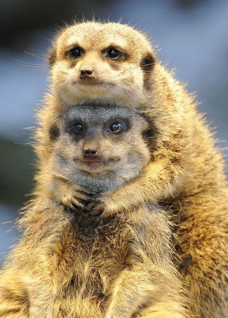 Two meerkats (Suricata suricatta) snuggle up