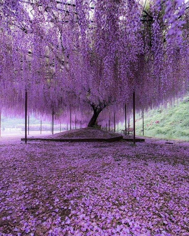 Wisteria Trees In Hyogo Japan Pics Wisteria Tree Purple Wisteria Purple Trees