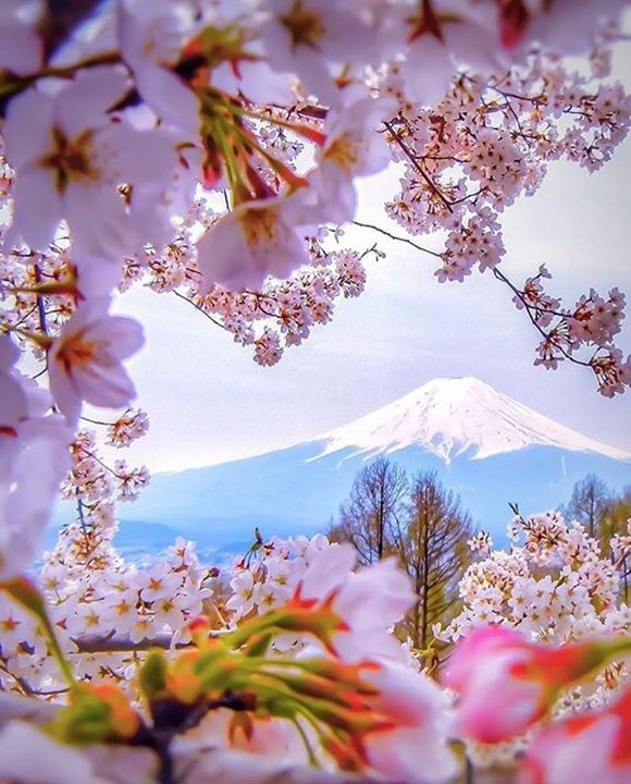 Hotels-live.com/cartes-virtuelles #MGWV #F4F #RT Cherry Blossom Japan. Photo Credit: @capkaieda. Tag: #lifeonourplanet by lifeonourplanet https://www.instagram.com/p/BDRCP7lCSU7/
