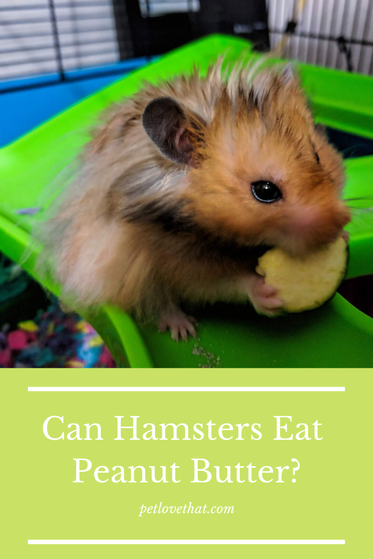 Hamsters are among the most popular pets of the ordinary