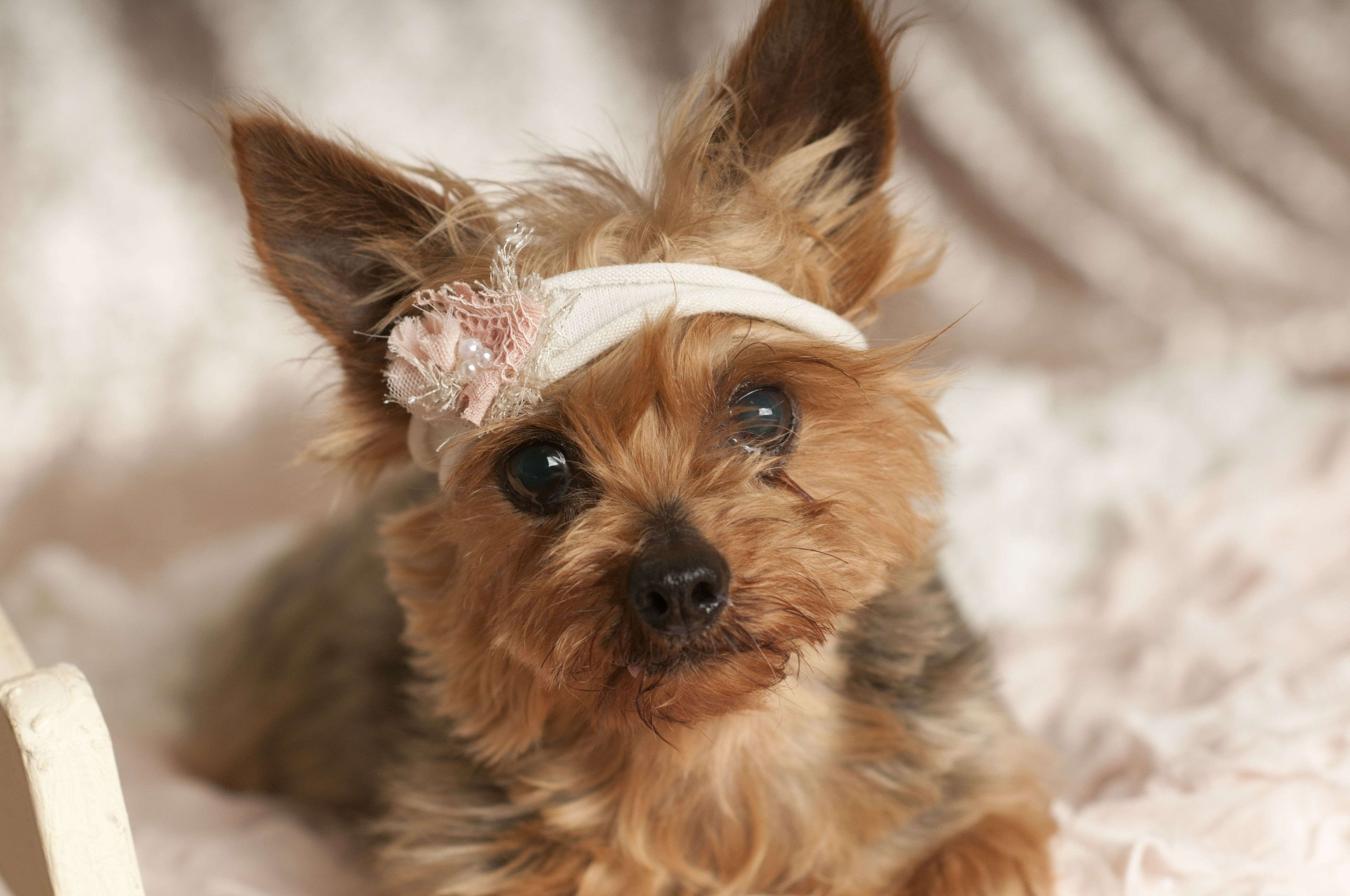 Adopt Jubilee (Dallas, TX) on Yorkshire terrier dog