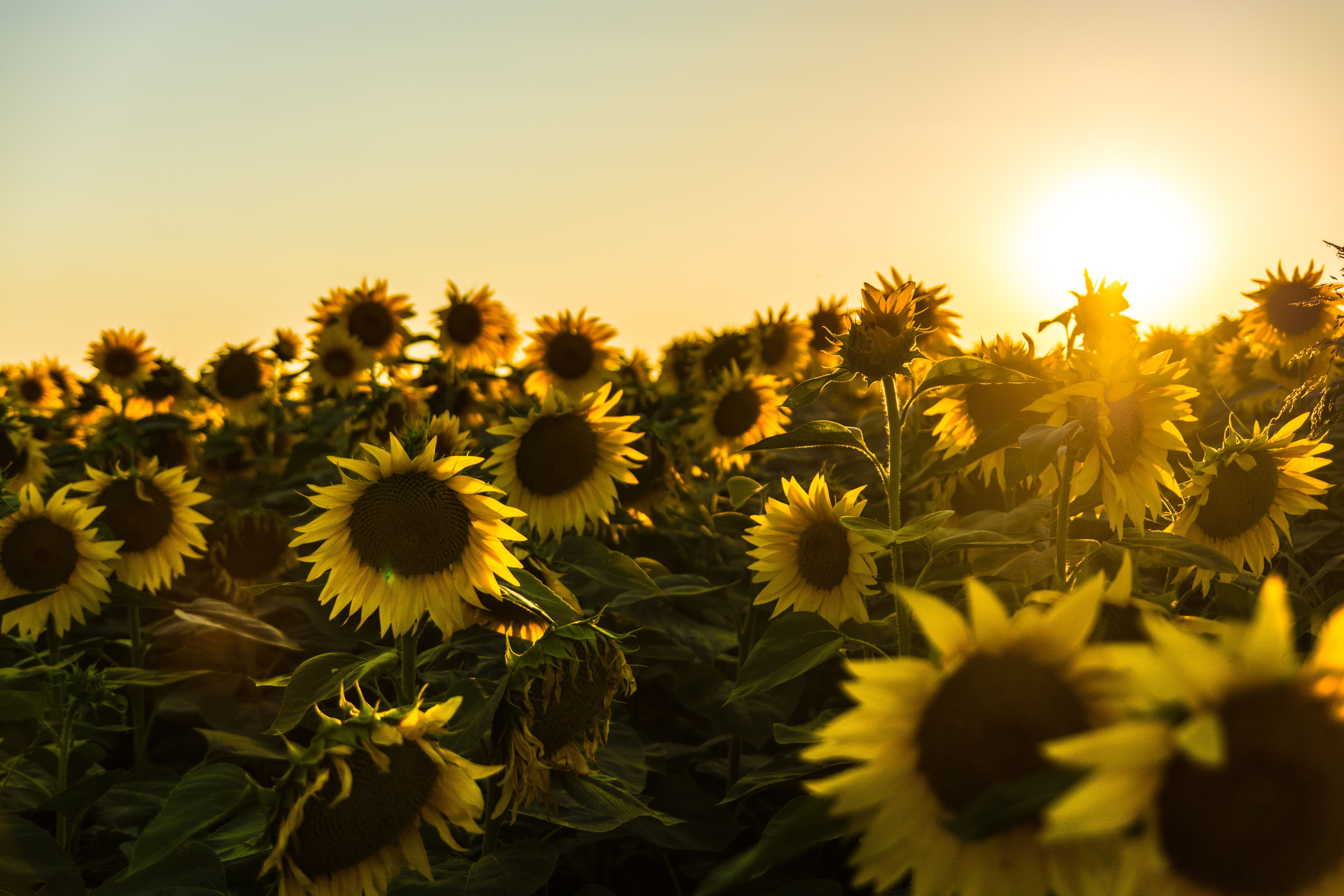 You Probably Already Knew That Sunflowers Follow The Sun However Although Sunflowers And Solar Panels B Sunflower Pictures Sunflower Fields Nature Pictures