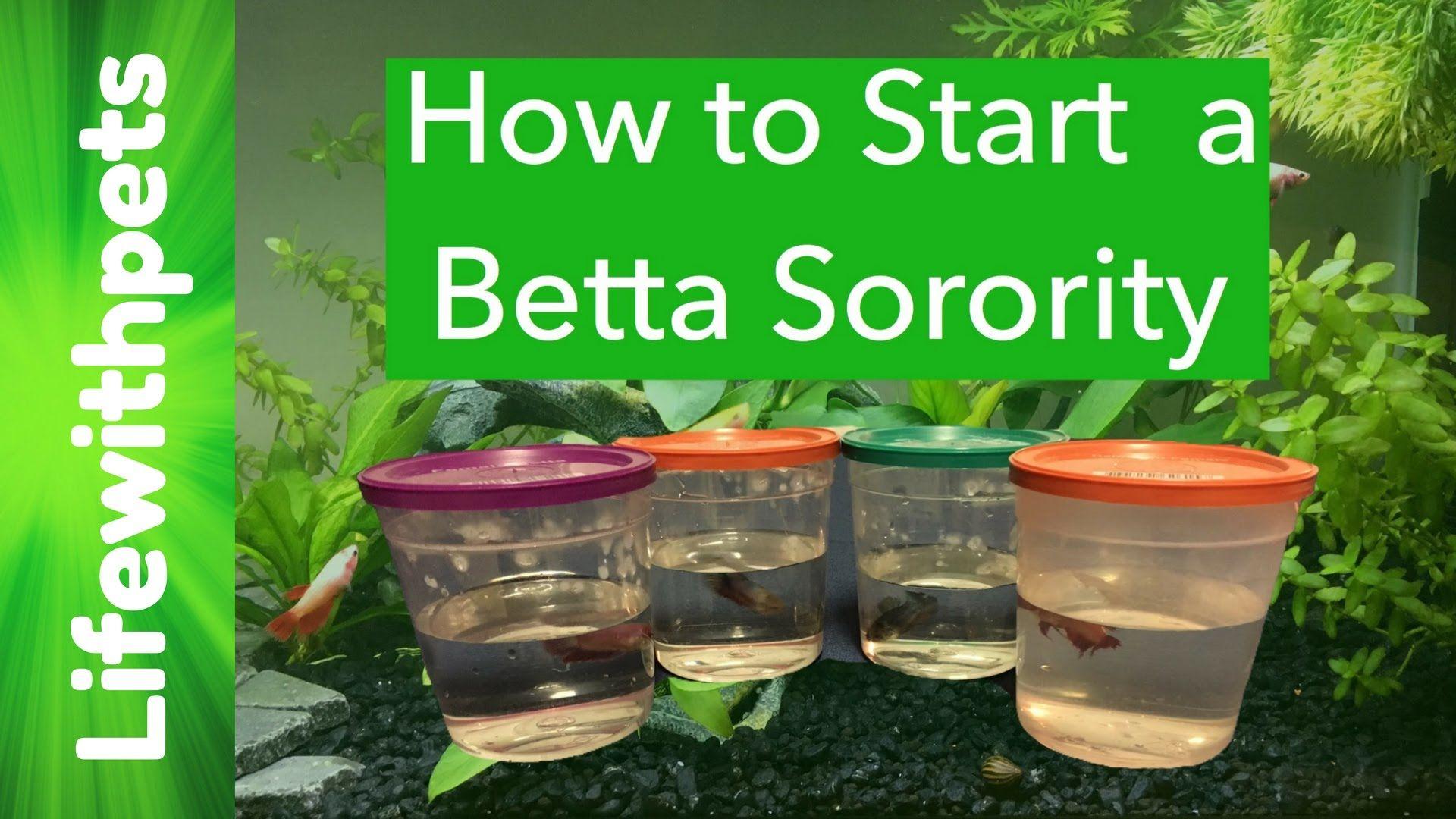 How to start a Female Betta Sorority or munity Tank