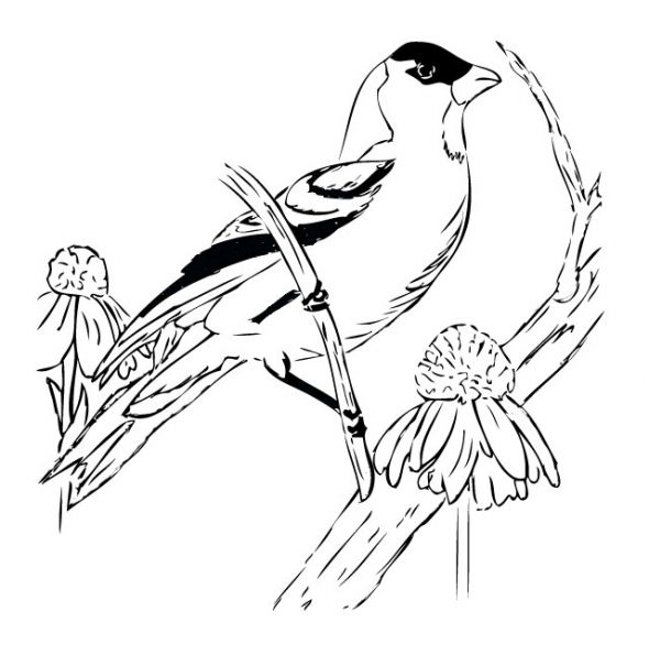 coloring pages goldfinch - photo#8