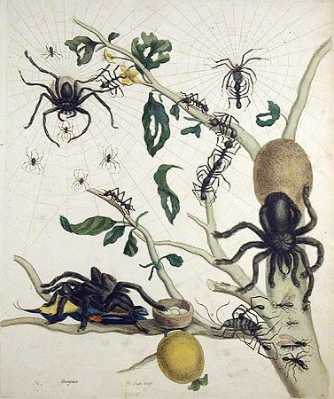Maria Sibylla Merian Plate 18 Metamorphosis Insectorum Surinamensium  Published:  Amsterdam  1705 Hand-colored engravings Dimensions:  19 3/4 x 13 3/4 inches