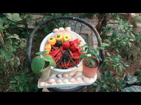 HARVESTED PEPPERS #gardening #garden #DIY #home #flowers #roses #nature #landscaping #horticulture