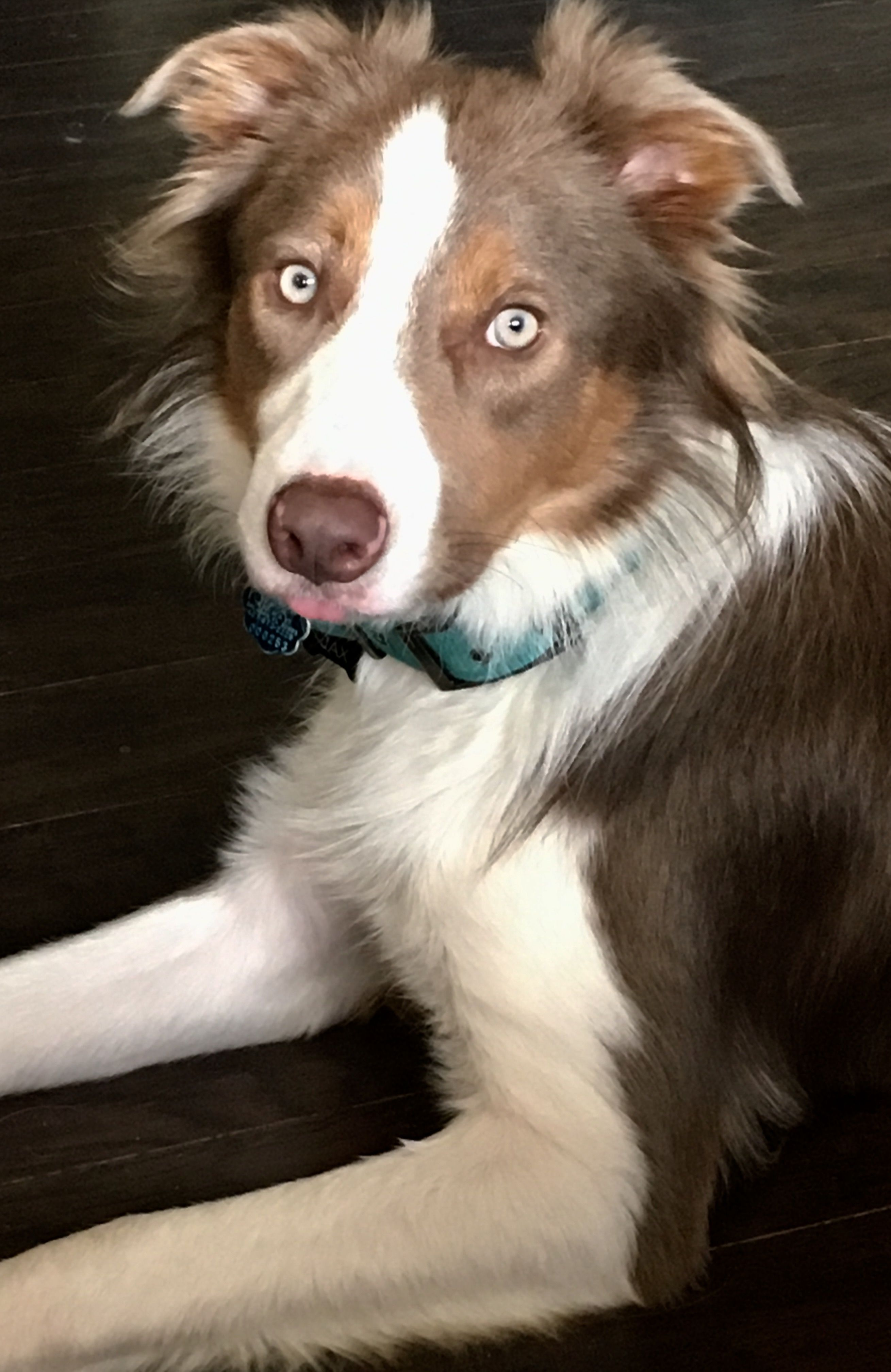 My Beautiful Border Collie With The Tongue Sticking Out Best Dog Breeds Domestic Dog Smartest Dogs
