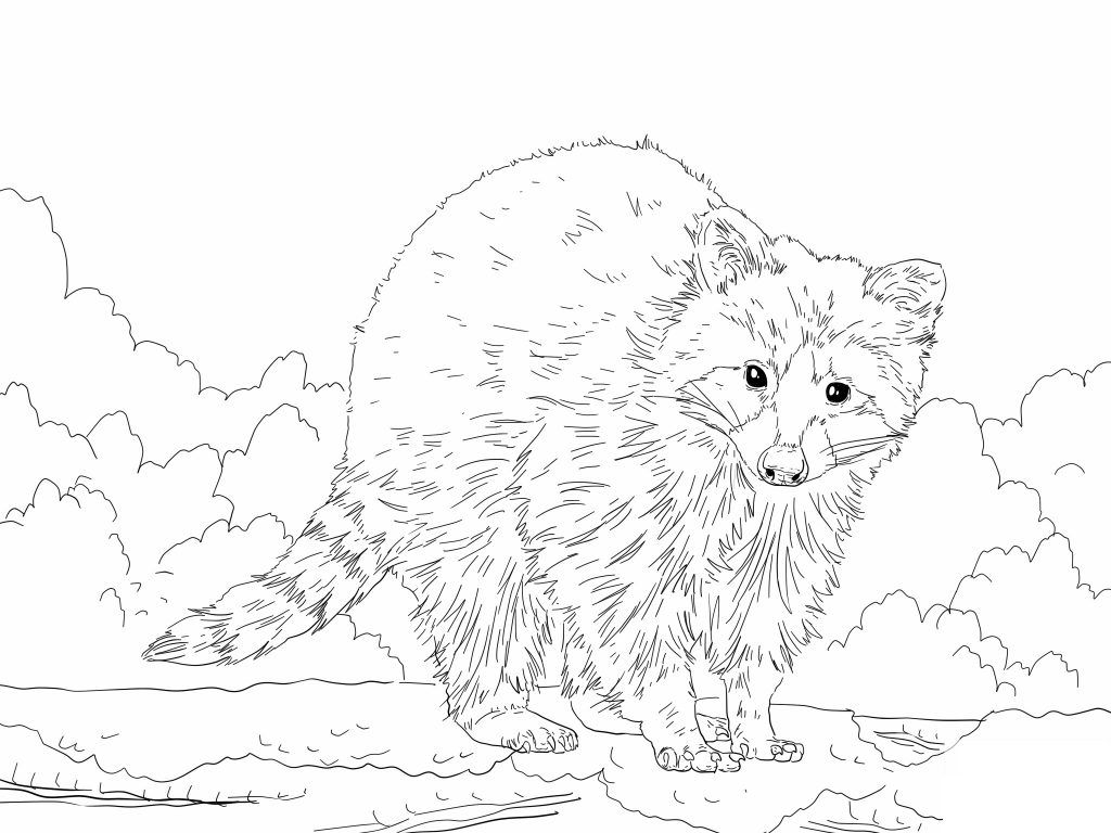 Free Printable Raccoon Coloring Pages For Kids Coloring Pages