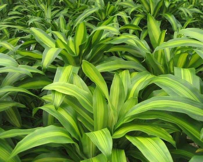 dracaena fragrans massangeana happy plant this lovely dracaena produces variegated spear. Black Bedroom Furniture Sets. Home Design Ideas
