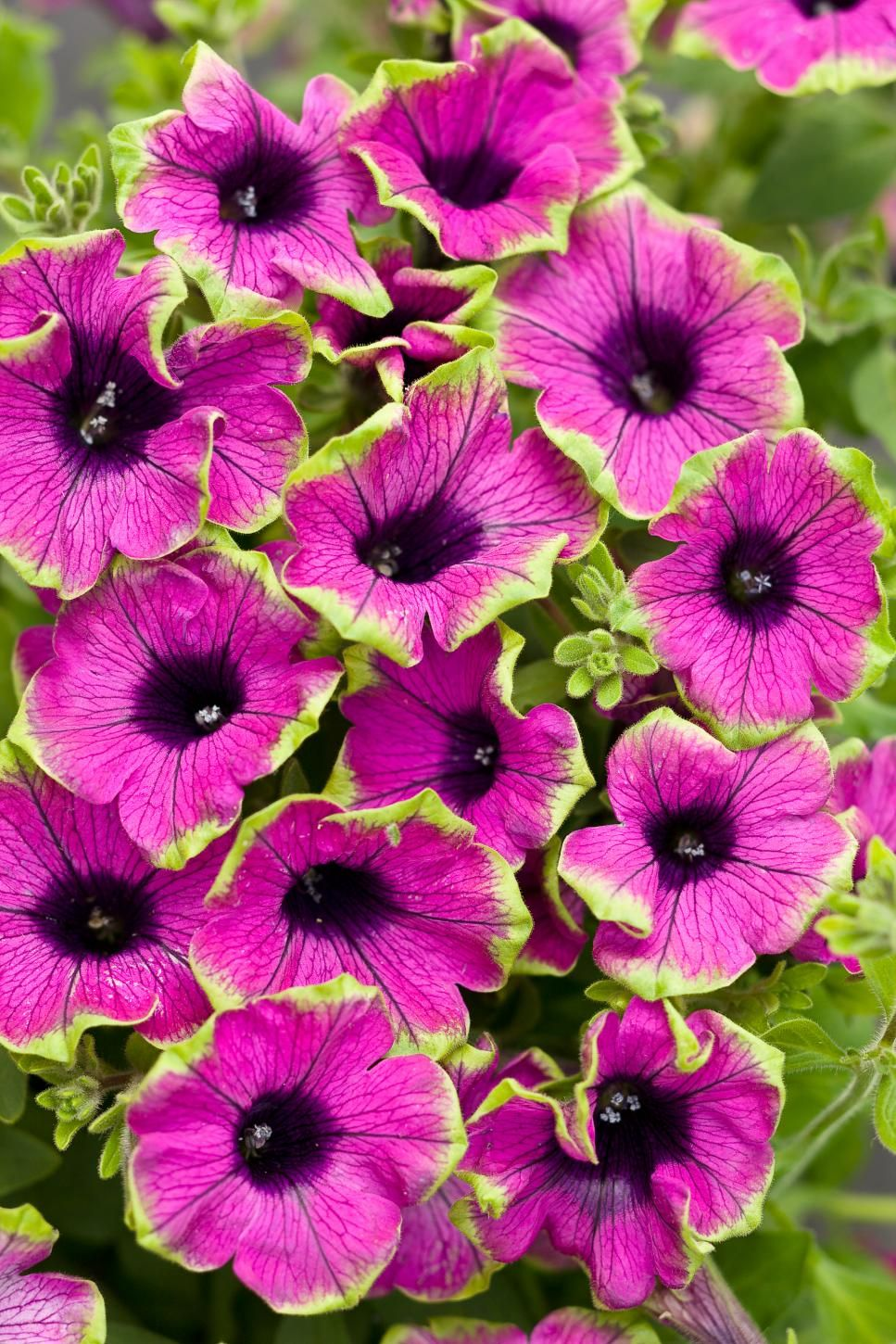 Favorite summer blooming annuals yards gardens and plants supertunia pretty much picasso petunia hybrid unique flowers sporting violet purple flowers edged in lime green no deadheading necessary izmirmasajfo Images