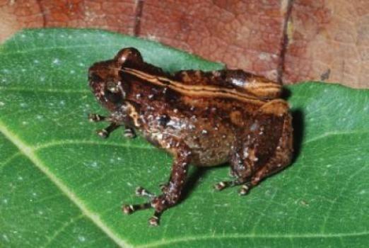 Oreophryne cameroni es una especie de rana diminuta de Papua Nueva Guinea. Tan sólo mide 20 milímetros de longitud.
