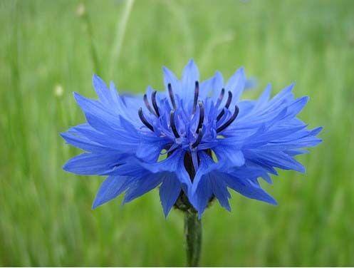 The Blu Print Mother S Day Around The World Germany Cornflower Flowers Beautiful Flowers