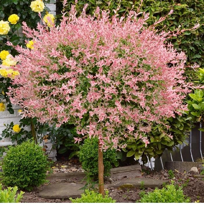 Willow Tree 'Pink Princess' Cottage Farms Direct