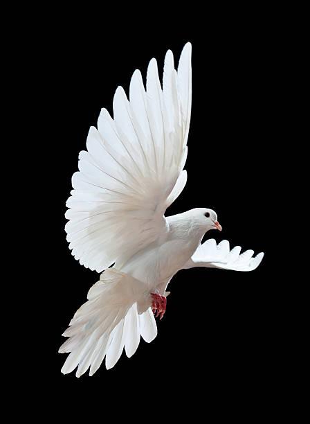 Paloma Volando Buscar Con Google Aves Volando Dibujos De Pajaro Dibujos De Aves