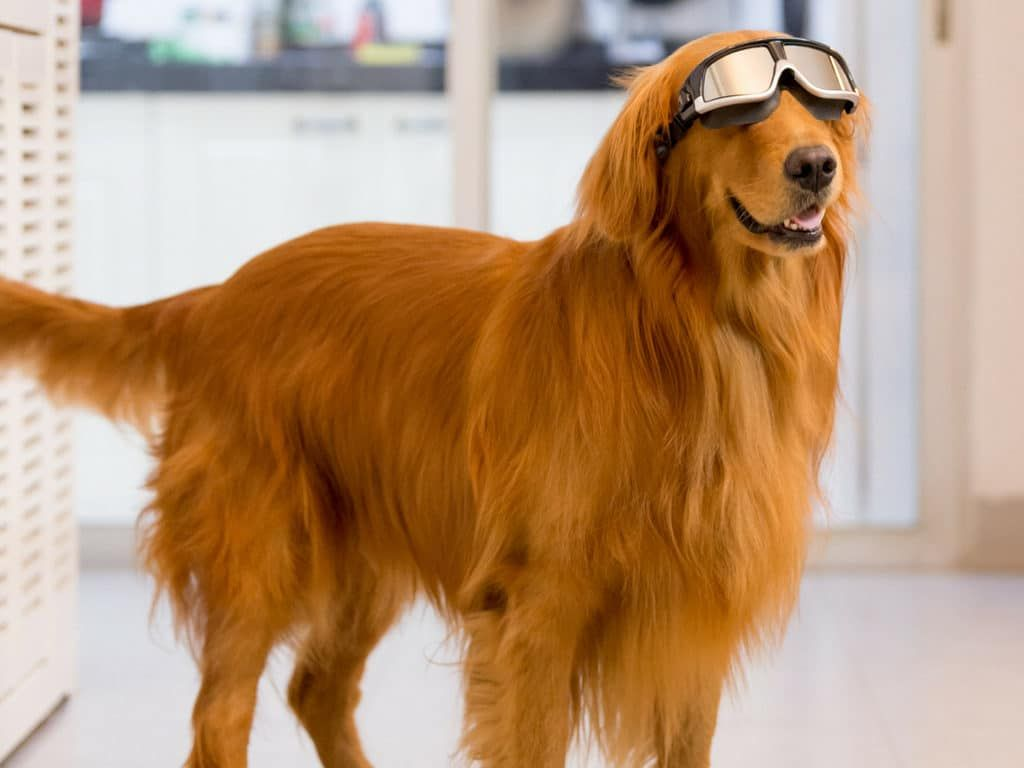 It Looks Like This Dog Is Already Getting Ready For Winter Dogs Cold Laser Therapy Cold Laser