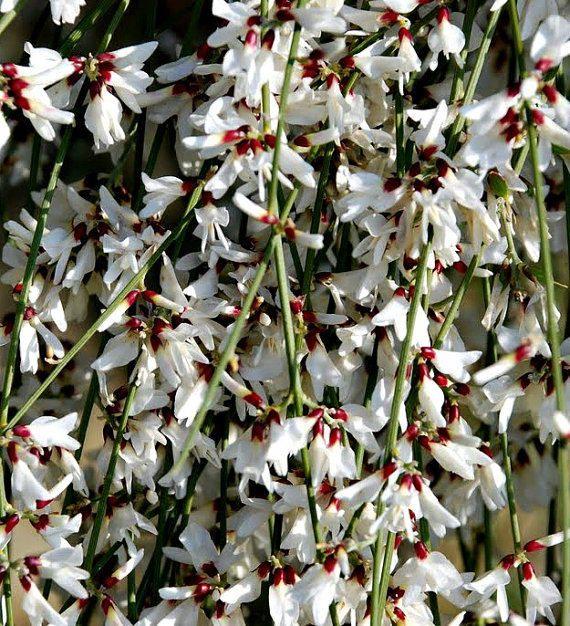 Bridal Veil Broom Genista Monosperma 10 Rare Seeds Fragrant Blooms Fluffy White Shrub Drought Tolerant Honey Bees Gre Rare Seeds Drought Tolerant Shrubs