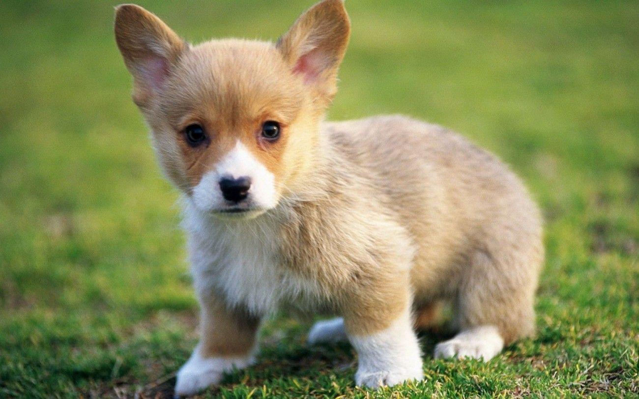 Beautiful Teacup Corgi Puppies Wallpaper | Animals ...