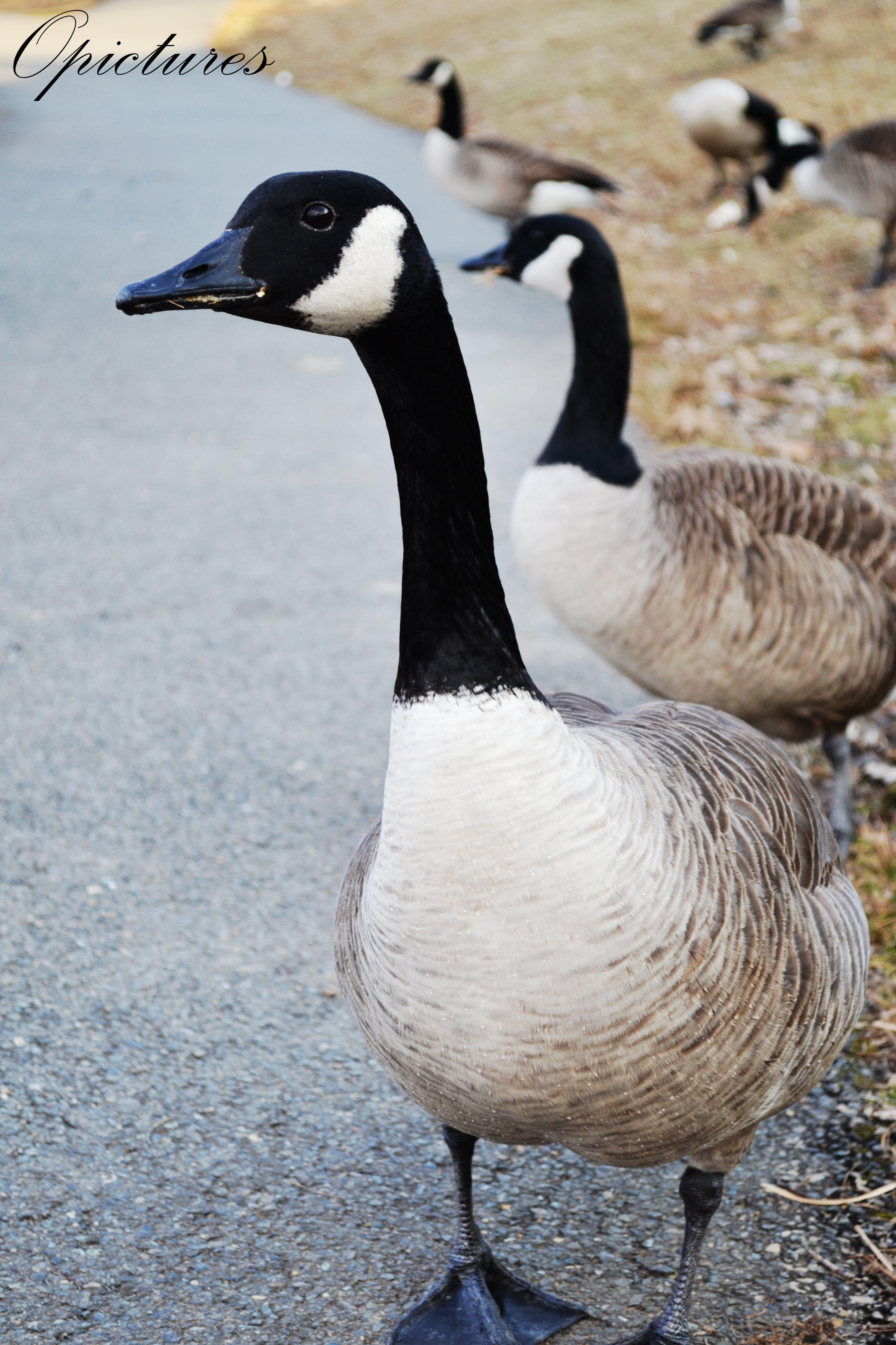 Pato Canadiense | Animales/Animals | Pinterest | Patos, Cosas ...