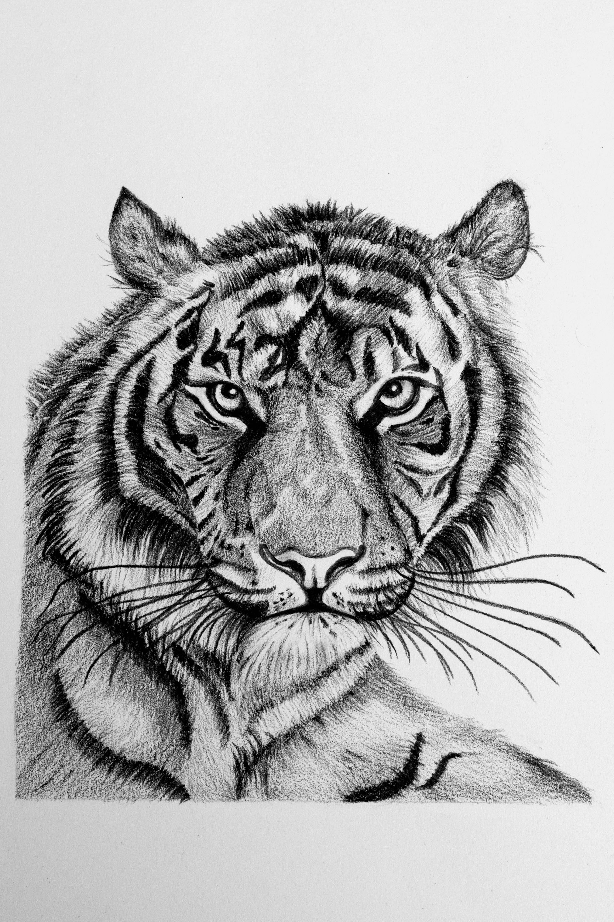 Pencil sketch the royal bengal tiger