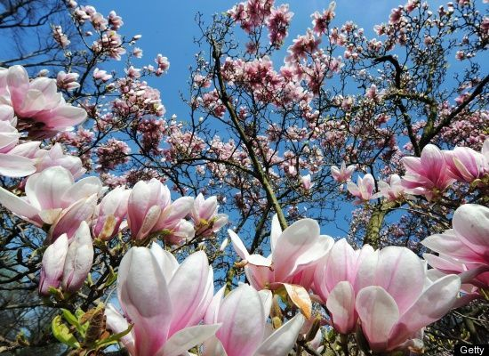 Beautiful Trees In Bloom Photos Flowering Trees Garden Care