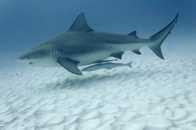 Bull Sharks Facts and Latest Photographs | The Wildlife