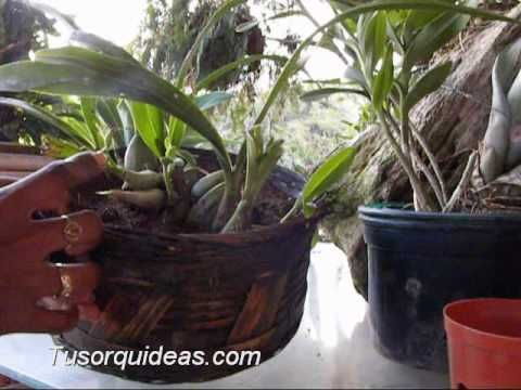 Orquideas macetas para hacer el trasplante jardin - Como cuidar orquideas en maceta ...