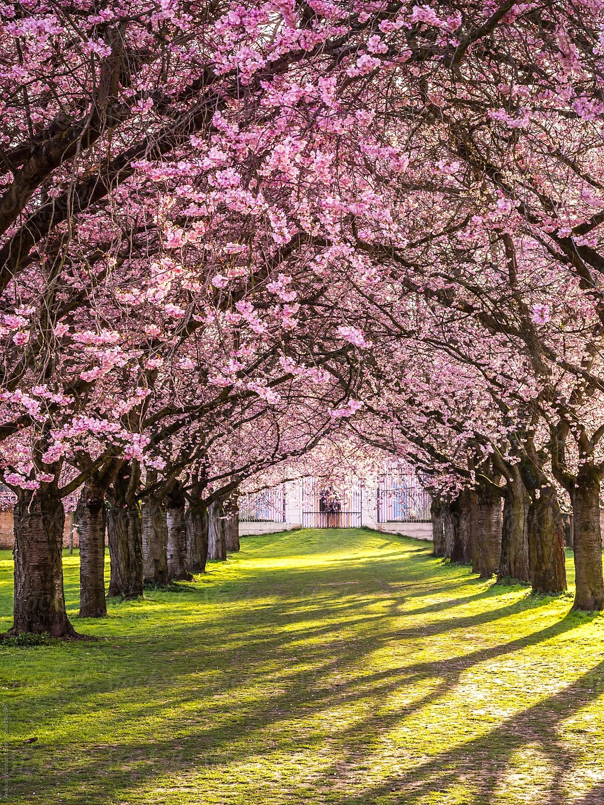 Flowering Cherry Blossom Photographed During Spring In The Schwetzinger Schlossgarten In Germany Spring Scenery Tree Photography Beautiful Tree