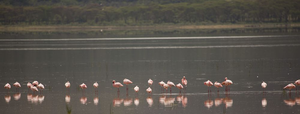 Flamingo - Animals Birds Phoenicopterus Flamingos - Phoenicopteridae