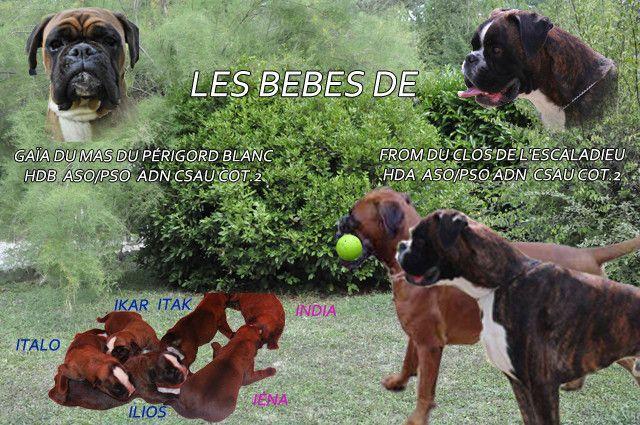 Voici notre Gaïa qui est maman de 4 bobox mâles et 2 bobox femelles. visitez le site du MAS DU PERIGORD BLANC