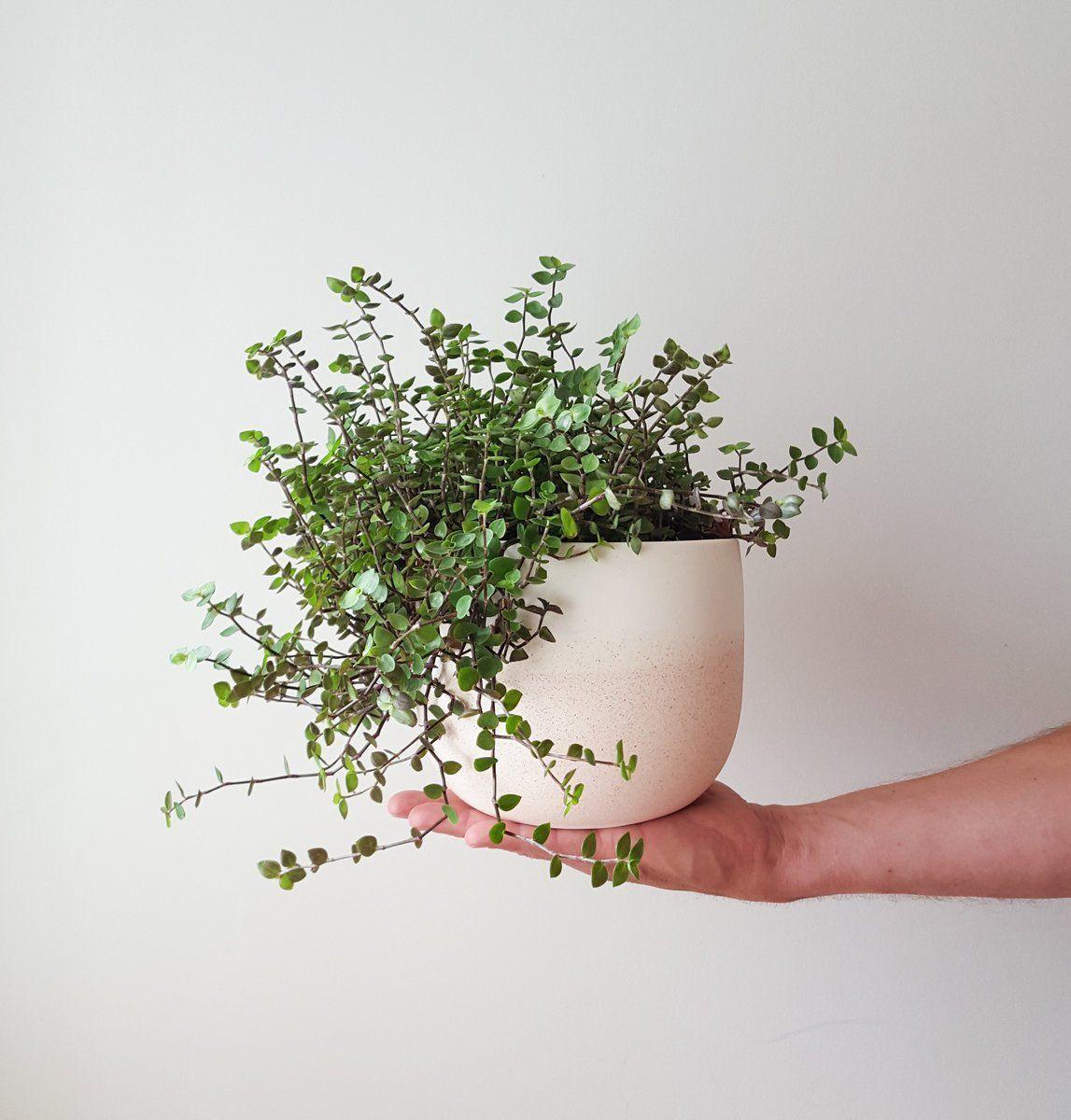 Coole Zimmerpflanzen callisia repens bubbles in reneé boyd dusty pink pot cool indoor