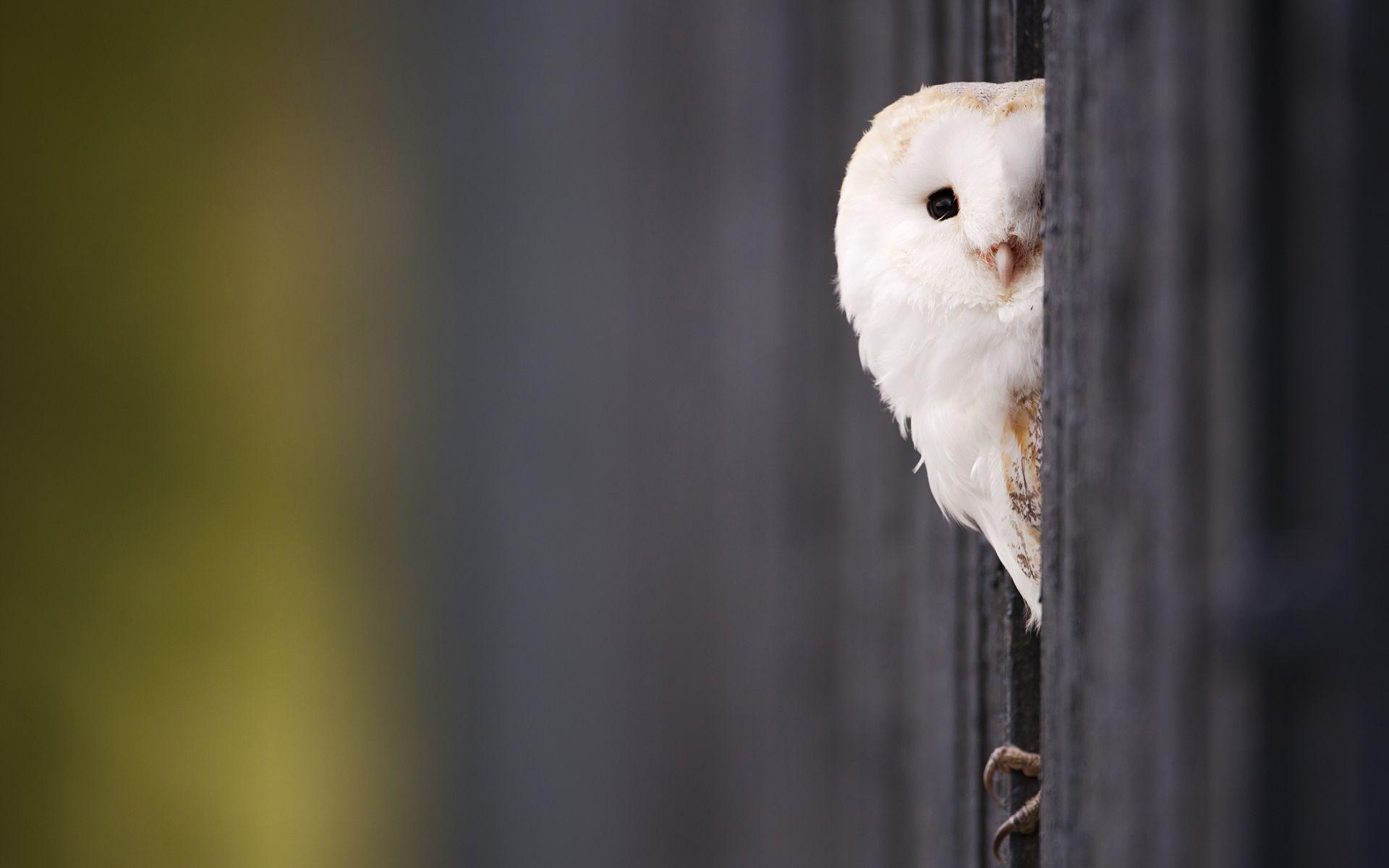 Peeking Owl Wallpaper Pet Birds Owl