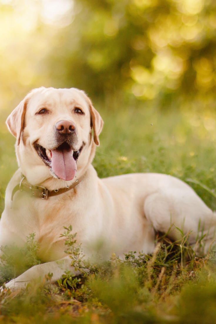 Active Smile And Happy Purebred Labrador Retriever Dog Outdoors In Grass Park On Sunny Summer Day Labr Labrador Retriever Golden Retriever Labrador Labrador