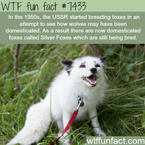 Domesticated Foxes Facts WTF FACTS Pinterest Fox Facts - 8 cool facts about madagascar