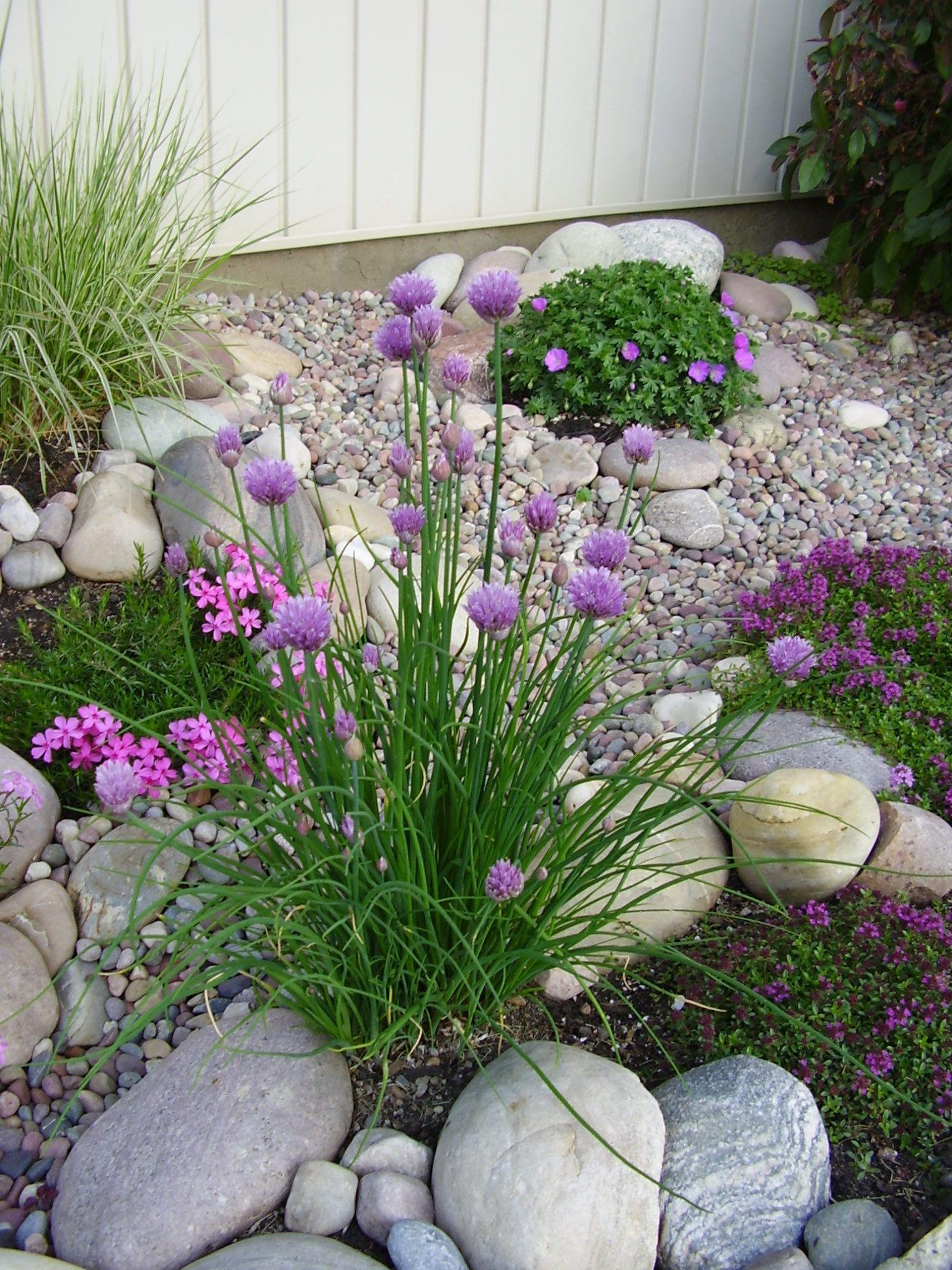 Cebollino al frente con Geranium 'Max Frei' en el fondo: hermoso montículo organizado que florecerá casi todo el verano. También algo de Phlox rosado en las rocas. - sandy