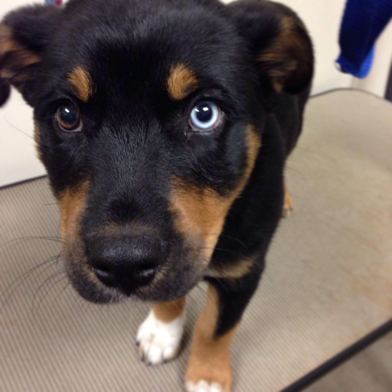 beautiful rottweiler/husky mix puppy | I love animals ...