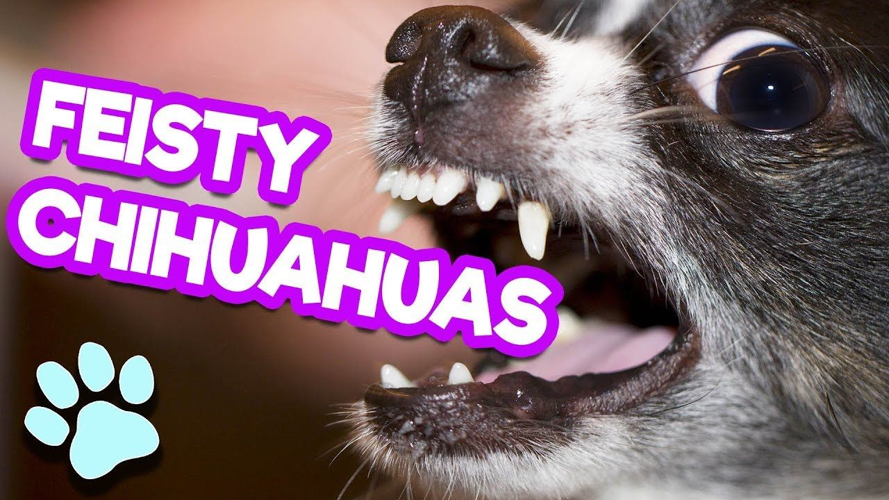 Funny Feisty Chihuahuas Try Not to Laugh Challenge