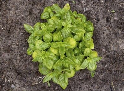Reasons For Yellowish Basil Leaves What Causes Basil Leaves To Turn Yellow Basil Plant Growing Basil Growing Basil Outdoors