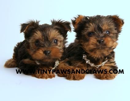 Gold And White Yorkies Update 5 2 9 2014 Yorkie Puppy For