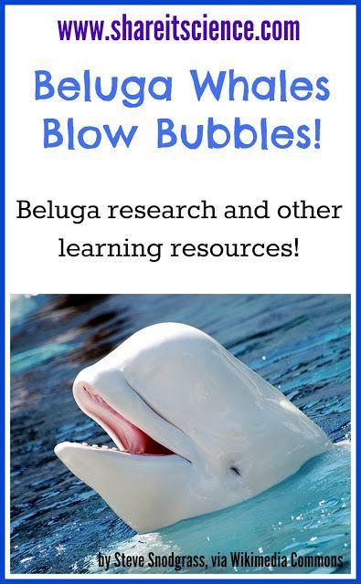 Beluga Whales Blow Bubbles!