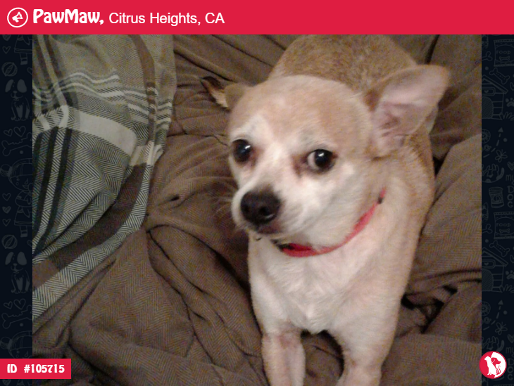 Dog Lost In Citrus Heights Dogs Deer Chihuahua Chihuahua Dogs