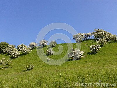 Apple tree blossom in the hill