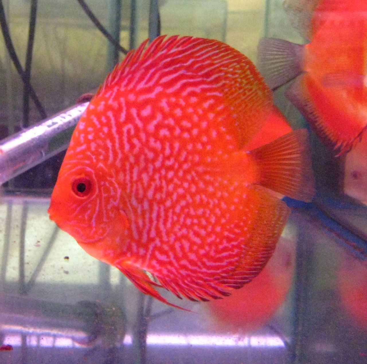 Golden Red Snake Discus Fish\