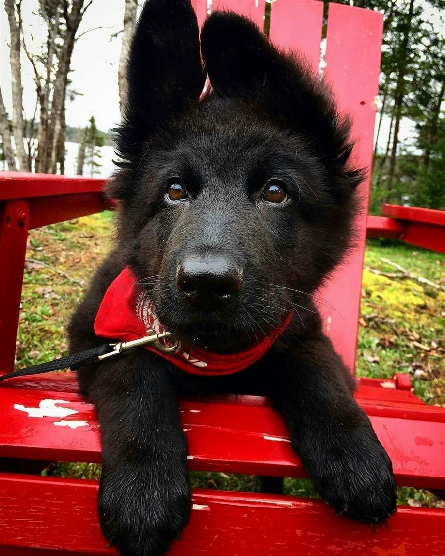 Gsd cute in 2020 gsd puppies cute dogs and puppies