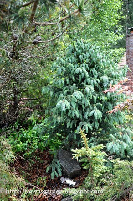 Picea engelmannii 'Compacta'--hedge