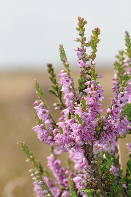 Calluna vulgaris heather calluna vulgaris and erica for Calluna vulgaris