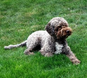 Lagotto Romagnolo Opdraet I Danmark Velkommen Til Kennel Yduns Blue Kennel Yduns Blue V Kirsten Panitzsch Dogs And Puppies Puppies Dogs