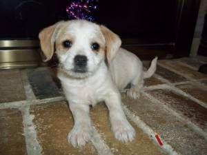 It S A Poogle A Poodle Beagle Mix Beagle Mix Pets Labrador Retriever