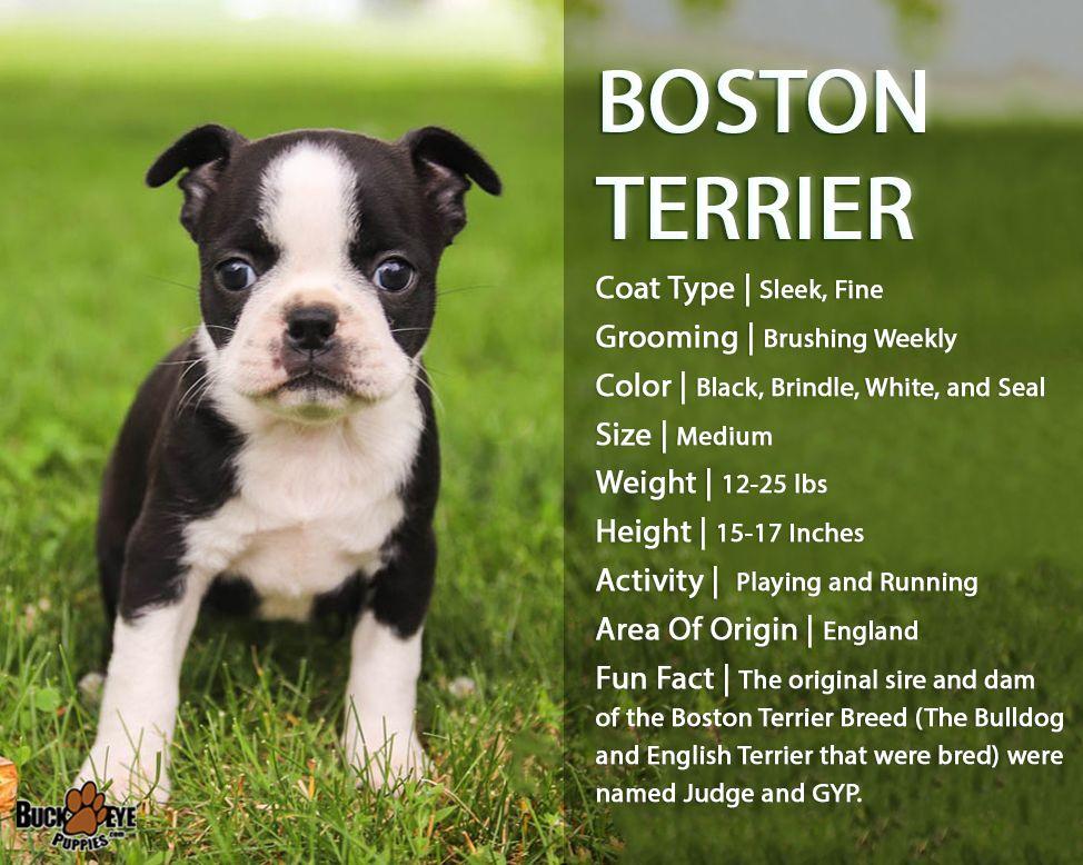 Breedoftheweek bostonterrier pups are friendly