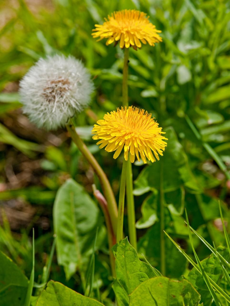Types of weeds in the lawn lawn weeds taraxacum officinale and