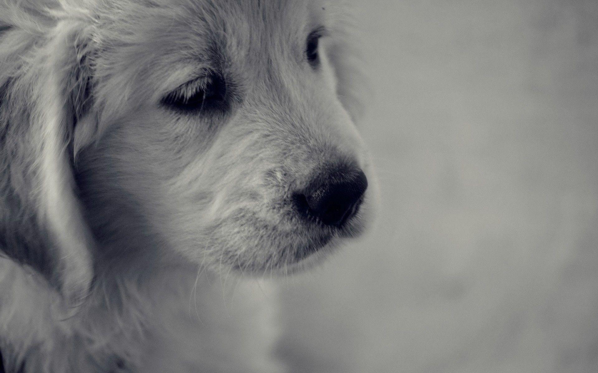 štene Zlatni Retriver Slike Za Desktop I Pozadinu Slike